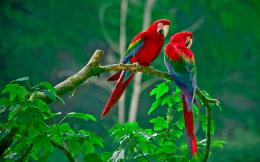 Download Pair of scarlet macaws 1920x1200 Wallpaper 864