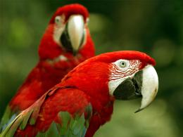 Scarlet Macaw Birds Wallpapers 354