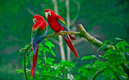 scarlet macaw parrots birds pictures scarlet macaw widescreen new hd 329