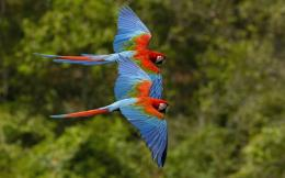 military macaws can mar free pet wallpaper named wallpaper x macaws 1668