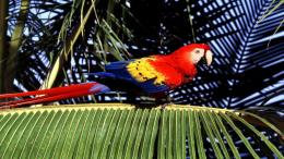 birds tropical parrots Scarlet Macaws Macaw palm leaves wallpaper 1194