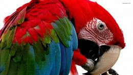 Scarlet Macaw wallpaper 1920x1080 1362