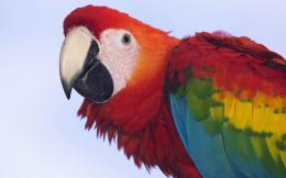 Scarlet Macaw Birds Wallpapers 290