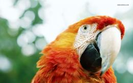 Scarlet Macaw wallpaper 1280x800 1624