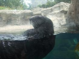 Oregon aquarium sea otter ocean animals HD Wallpaper 565