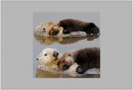 Sea Otters HD wallpapers 367
