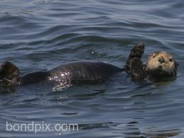 Sea Otter Wallpaper Hd Wallpapers Picture 738
