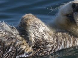 hd wallpapers otter hd wallpapers otter hd wallpapers otter pictures 813