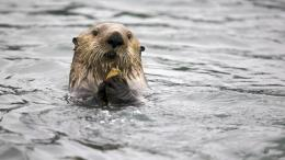 Sea Otter HD Wallpaper 133