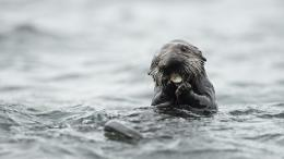 Sea Otter HD Wallpaper 1503