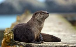 Otter HD Wallpapers, otter images, 1227