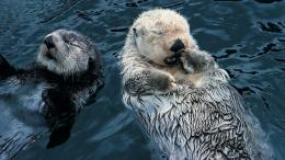 Sea Otter HD Wallpaper 741