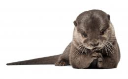 Otter Wallpapers Pictures Photos Images 1878