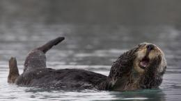 Sea Otter HD Wallpaper 1042