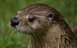 Marine Otter Photos,HD Wallpapers,Images,Pictures 918