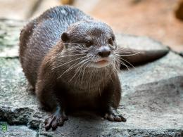 Otter Swimming HD Wallpapers 299
