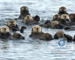 Sea Otters Wallpaper Sea Otters 1559