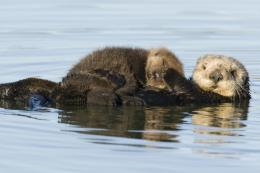 desktop wallpaper sea otter hd wallpaper sea otter animal pictures 763