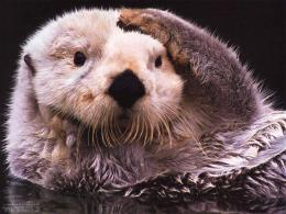 Sea Otter Sea Otter hd Wallpaper 1503