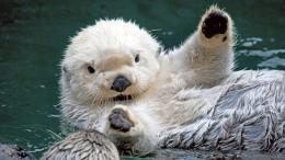 Sea Otter HD Wallpaper 1910