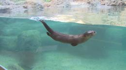 Otter Swimming HD Wallpapers 723