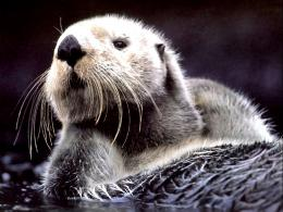 otter hd wallpapers otter hd wallpapers otter hd wallpapers otter hd 1885