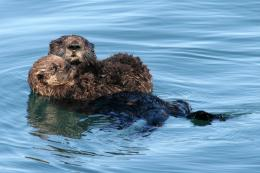 Sea Otter HD Wallpaper 1258