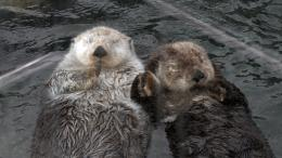 Tagged with: Sea Otter Sea Otter HD Wallpaper 655