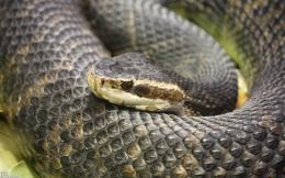 desktop snake wallpapers hd snakes wallpaper 22 water moccasin snake 1474