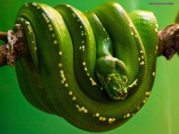 Snakes Wallpapers 586