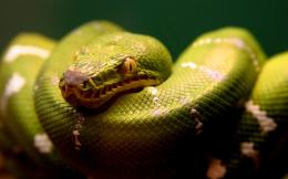 1920x1200 Green snake desktop PC and Mac wallpaper 1901