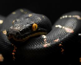 cool Snakes HD Wallpapers black 1406