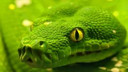 snake wallpapers hd snakes wallpaper 23 green emerald boa snake jpg 1429