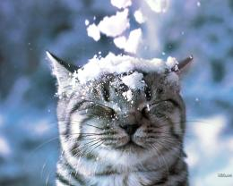 Cats Cat in the Snow Wallpaper 1626