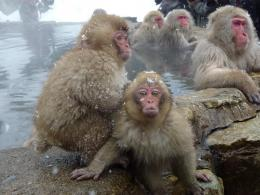 Snow Monkey Wallpapers 1607