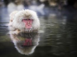 snow monkey in water snow monkey japanese macaque snow monkey 1728
