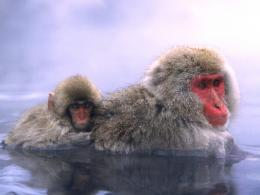 Relaxing Hot Springs Japanese Snow Monkey wallpaper 1533