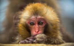 Snow monkey, japanese macaque, baby, baby, portrait wallpapersphotos 885