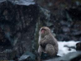 Download Monkeys wallpaper, \'Snow monkey while it snows\' 436