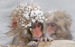 download snow monkey wallpaper tags monkey snow winter primate animal 297