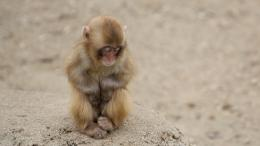 baby snow monkey sleeping hd wallpaper download snow monkey pictures 738