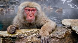 awesome snow monkey high resolution wallpaper download snow monkey 1277