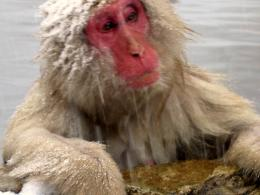 free Snow Monkey wallpaper wallpapers download 227
