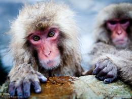 Snow Monkey Wallpapers 180