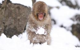 Snow Monkey Wallpapers 681