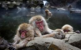 2560x1600 Sleeping snow monkeys desktop wallpapers 981