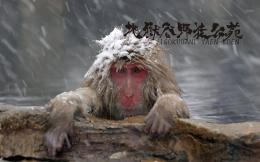 monkeys wallpaper snow monkey 16 free japanese snow monkey wallpaper 999