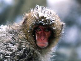snow monkey full hd wallpaper download snow monkey images free 1994