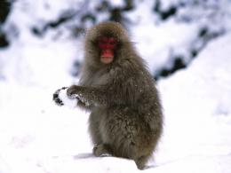 Snow Monkey Wallpapers 892