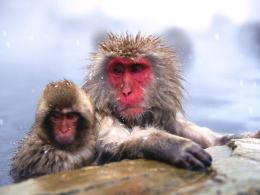Chilly Japanese Snow Monkeys wallpaper 1795